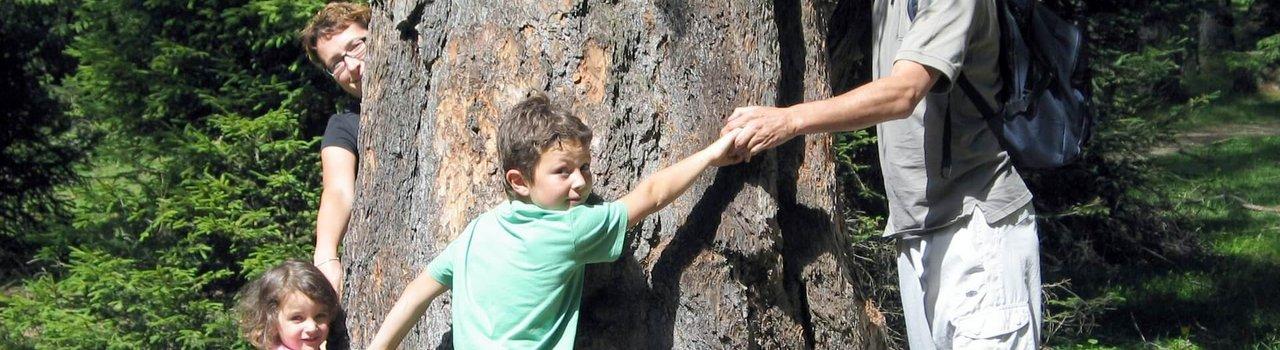 Die großen Bäume haben ein erstaunliches Alter von über 500 Jahren und einen Stammumfang von bis zu sieben Metern